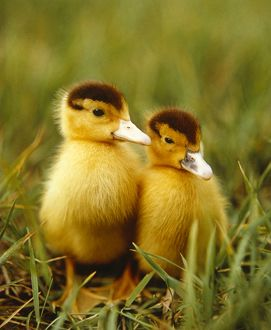 Two ducklings outdoors