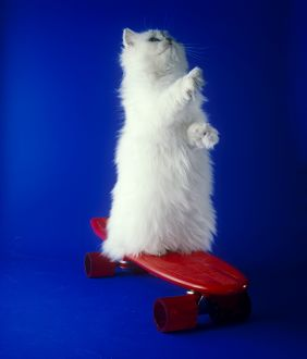 White Persian cat on a red skateboard